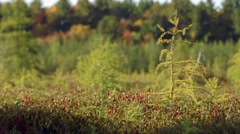 Small Tree in Mer Bleue Bog 3 - stock footage