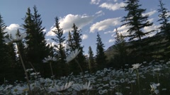 Plethora of snow daisies at the foot of the Bugaboo Mountains, British Columbia. Stock Footage