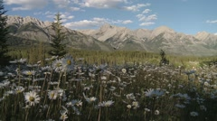 Plethora of snow daisies at the foot of the Bugaboo Mountain range, British Stock Footage