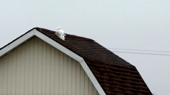 A snowy owl perched on top of a barn. Stock Footage