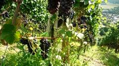 Winegrowing in Germany near Bonn Stock Footage