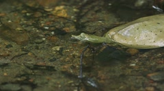 Spiny Softshell Turtle in water Stock Footage