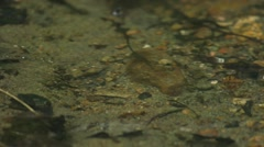 Spiny Softshell Turtle lying on the shoreline of a pond. (Pan Right) - stock footage