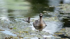 Cute Australasian Grebe climbs and snuggles onto mothers back Stock Footage