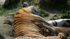 Tiger kitten sleeping with its mother. Stock Footage
