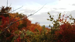 Small autumn-coloured trees in the Gatineau countryside. (Rack) Stock Footage