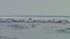 Two polar bears walking in different directions in the Arctic tundra. Stock Footage