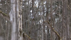 Pair of white-chested Nuthatches flying around Muskoka woodland. - stock footage