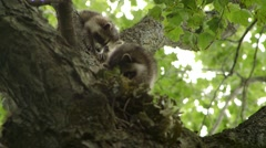 Stock Video Footage of 2 small raccoons climb down a tree trunk