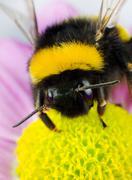 Bumblebee Pollination on Yellow Flower - stock photo