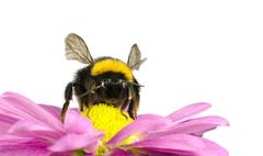 Bumblebee pollinating on Daisy Flower Isolated - stock photo