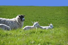 Sheep with Four Lambs in the Green Field in Spring - stock photo