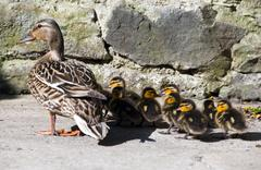 Stock Photo of Mommy Wild duck with cute little ducklings on patio