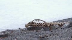 Whale bones sitting on the shore in Arctic Bay, Nunavut. Stock Footage