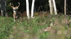 Whitetail deer standing in a forest clearing. (Rack) Stock Footage