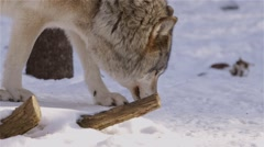 A wolf sniffing at the snow.  Proceeds by walking forward. Stock Footage