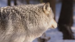 A wolf stands looking around the forest. Stock Footage