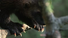 Wolverine climbing down a tree. Stock Footage