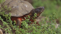 Wood turtle cautiously looking around. - stock footage