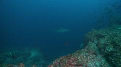 Galapagos shark school of fish Stock Footage