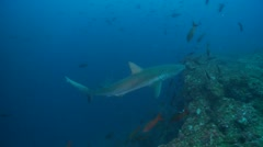 Galapagos shark and diver Stock Footage