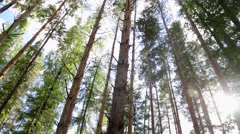 Pine forest in the rays of the evening sun (7.08s) Stock Footage