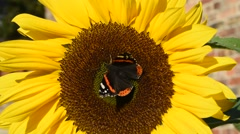 red admiral butterfly feeding on nectar on sunflower - stock footage