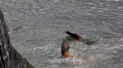 Atlantic walrus rubs back against rock to get rid of parasites Stock Footage