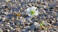 North fall: last Arctic poppy Novaya Zemlya archipelago Stock Footage