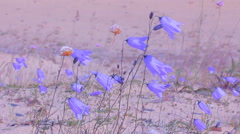 Bright bells  beautiful wild flowers Stock Footage