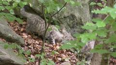 4K footage of Wildcat (Felis silvestris) kittens Stock Footage
