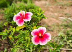 Hibiscus flower. Stock Photos