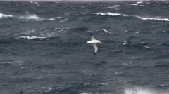 Wondering Albatross Stock Footage