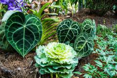 Foliage anthurium flower. - stock photo