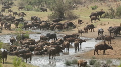 African buffalo herd, wildlife safari, Kruger National Park, South Africa Stock Footage