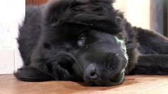 Newfoundland dog, closeup of face. Stock Footage
