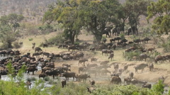 African buffalo herd, wildlife safari, Kruger National Park, South Africa - stock footage