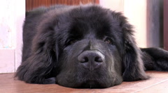 Newfoundland dog, closeup of face. - stock footage