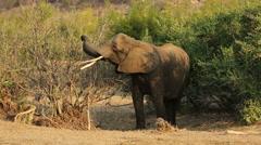 Feeding African elephant, wildlife safari, Kruger National Park, South Africa Stock Footage
