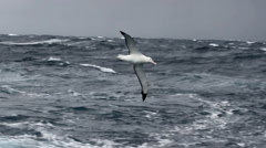 Wondering Albatross in Antarctica Stock Footage