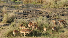 Impala antelopes feeding, African safari, Kruger National Park, South Africa Stock Footage