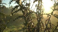 Sunrise seen through thistle Stock Footage