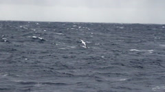 Wondering Albatross fishing Stock Footage
