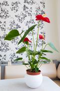 Indoor red anthurium flower in  Interior - stock photo