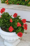 Red Geraniums in pots at  garden - stock photo