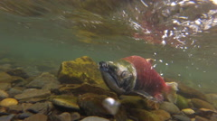 Wild Sockeye Salmon Swims Upriver Stock Footage