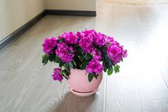 Pink azalea and rose stand on the floor in room Stock Photos