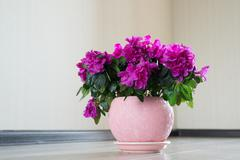Stock Photo of Pink azalea and rose stand on the floor in room