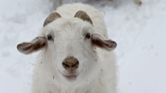 Goat White Snow - stock footage