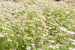 Little white flower with yellow pollen - stock photo